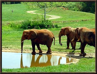 Elephant Friends at the Watering Hole