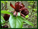 Carolina Allspice at Cataloochie