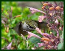 Hummingbird at Arboretum