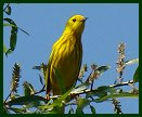 Yellow Warbler at Beaver Lake